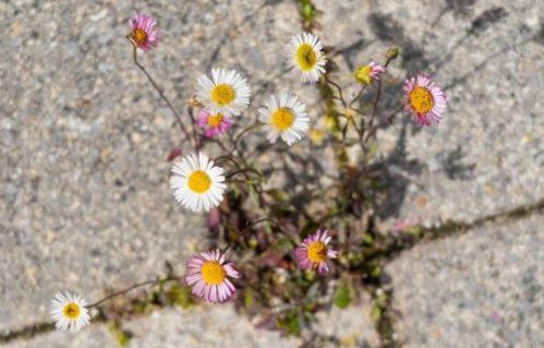 Fleurs poussant dans les interstices de dalles en béton